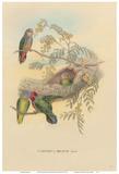 Bruijns Pygmy Parrots (Nasiterna Bruijnii  Salvad)