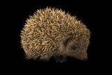 A Northern White Breasted Hedgehog  Erinaceus Roumanicus  from the Budapest Zoo