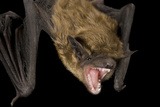 A Big Brown Bat  Eptesicus Fuscus