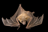 A Lesser Short-Nosed Fruit Bat  Cynopterus Brachyotis  at the Lubee Bat Conservancy