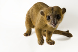 A Kinkajou  Potos Flavus  at the New York State Zoo