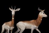 A Critically Endangered Male and Female Dama Gazelle  Nanger Dama Ruficollis