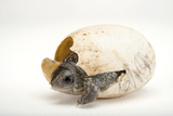 An Endangered Aquatic Box Turtle  Terrapene Coahuila  Hatches from His Egg