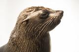 An Afro Australian Fur Seal  Arctocephalus Pusillus  at the Faunia Zoo