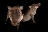 Two 8-Month-Old Common Warthogs  Phacochoerus Africanus  at the Columbus Zoo