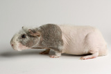 A 'Skinny Pig'  Cavia Porcellus  a Hairless Guinea Pig Breed