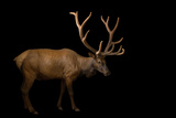 A Bull Elk with His Antlers in Velvet  Cervus Canadensis  at the Oklahoma City Zoo