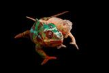 Male and Female Ambilobe Locality Panther Chameleons  Furcifer Pardalis
