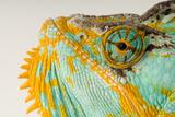 The Eye and Face of a Veiled Chameleon  Chamaeleo Calyptratus