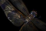 A Halloween Pennant Dragonfly  Celithemis Eponina