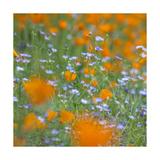 Poppy Flower Mix