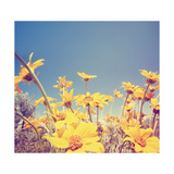 A Bunch of Pretty Balsamroot Flowers Done with a Soft Vintage Instagram like Effect Filter Reproduction d'art par Graphicphoto