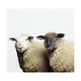 Sheep Standing Side by Side Reproduction d'art par Adrian Burke