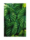 Green Tropical Leaves Reproduction d'art par Darrell Gulin