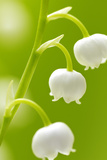 Lilies  Convallaria Majalis  Detail  Blooms  Series  Plant  Flowers  Lily-Plants  May-Flower  Prime