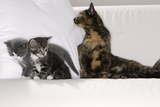 Sits Couch  Cats  Young  Curiously  Dam  Lying  Alertly  Animals  Mammals  Pets