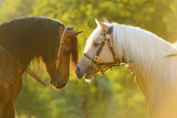 Connemara Pony  Portrait  Stallions  Side View