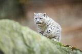 Snow Leopard  Uncia Uncia  Young Animal  Rock  Walking  Frontal