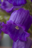 Bellflower  Close Up