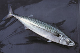 Mackerel  Scomber Scombrus  Dead  Catch-Newly  Animal