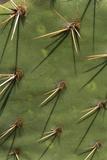 Fig-Cactus  Opuntia Spec  Thorns  Close-Up  Nature  Botany  Vegetation  Plant  Succulent  Cactus