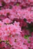 Blossoming Rhododendron  Rhododendron Norbitonense Aureum  Medium Close-Up