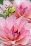 Water Lily - Dahlia  Dahlia X Hoard Sis 'Sourir De Crozon'  Blossoms  Bud  Close-Up