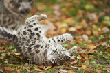 Snow Leopard  Uncia Uncia  Young Animal  Falling  Foliage