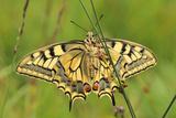 Swallowtail  Blade of Grass