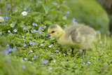 Canada Goose  Branta Canadensis  Fledglings  Meadow  Side View  Standing