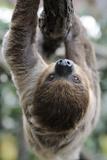 2 Finger Sloth  Choloepus Didactylus  Branch  Hang  Climb Headlong