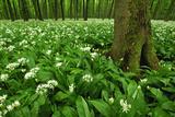Beech-Forest  Forest-Ground  Bear-Leek