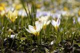 Crocus Meadow