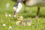 Canada Goose  Branta Canadensis  Fledglings  Meadow  Side View  Lying