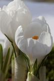 Crocus Blossom  Close Up