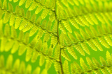 Worm-Fern  Dyopteris Filix-Mas  Leaf  Close-Up  Fern  Fern-Leaf  Fern-Plant  Fronds  Dusters  Leaf