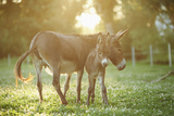 Donkey  Equus Asinus Asinus  Mother and Foal  Meadow  Is Lying Laterally