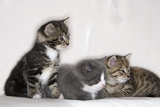Couch  Cats  Young  Sitting  Lying  Side by Side  Observes  Curiously  Sidelong Glance  Animals