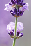 Lavender Blossoms  Close Up