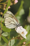 Butterfly  Black-Veined White on Wild Rose