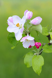 Apple Blossom  Buds  Medium Close-Up  Apple-Tree  Tree  Fork  Spring  Fruit-Tree  Pink  Pink