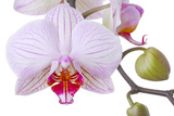 Orchid  Phalaenopsis Spec  Detail  Blooms  Buds