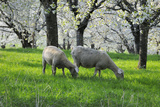 Meadow  Sheep  Graze  Cherry Trees  Breeding