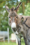 Domestic Donkey  Equus Asinus Asinus  Mare  Foal  Portrait  Head-On  Looking into Camera