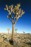 USA  California  Joshua Tree National-Park  Landscape  Trees