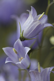 Bellflower  Blossoms  Close Up