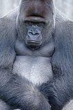 Lowland Gorilla  Gorilla Gorilla Gorilla  Male  Cropped