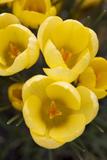 Crocus Blossoms  Close Up