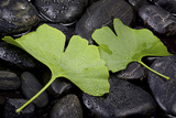 Ginko Leaf on Black Stones