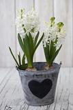 Hyacinths  White  Spring Flower  Flowerpot  Heart